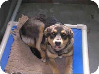 German Shepherd Dog/Shepherd (Unknown Type) Mix Dog for adoption in Broomfield, Colorado - Mindy