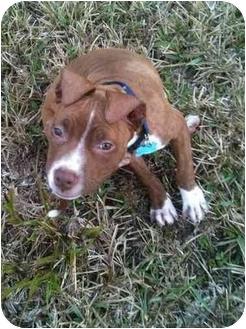 American Pit Bull Terrier Puppy for adoption in Miami, Florida - Nevaeh