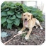Photo 1 - Golden Retriever Mix Dog for adoption in Spruce Pine, North Carolina - Gabe