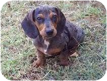 Dachshund Puppy for adoption in Foster, Rhode Island - Shysie