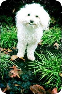 Bichon Frise Dog for adoption in Portland, Oregon - Skeeter Bug