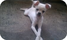 Chihuahua/Pekingese Mix Puppy for adoption in Jacksonville, Florida - Snow