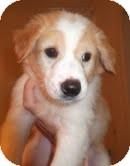 Collie Mix Puppy for adoption in Foster, Rhode Island - Sandy Cheeks