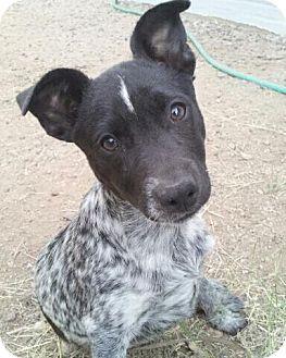 Australian Cattle Dog/Rat Terrier Mix Puppy for adoption in Phoenix, Arizona - Linus - Adoption Pending