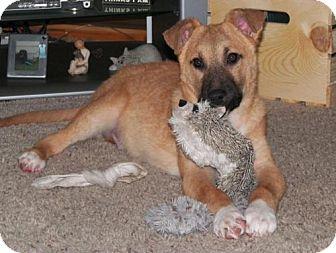 Golden Retriever/German Shepherd Dog Mix Puppy for adoption in Minneapolis, Minnesota - Luka