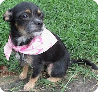 Miniature Pinscher/Miniature Schnauzer Mix Puppy for adoption in Tahlequah, Oklahoma - Maia
