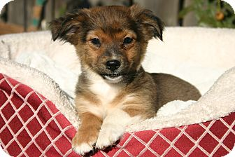 Terrier (Unknown Type, Small) Mix Puppy for adoption in Tracy, California - Reece ADOPTED!!!