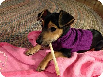 Miniature Pinscher Mix Puppy for adoption in Barnegat, New Jersey - Codie *Adopted
