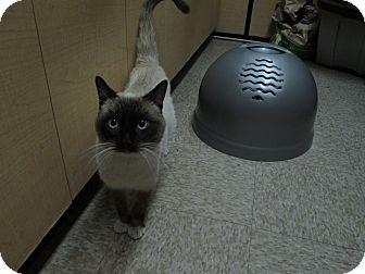 Siamese Cat for adoption in Desert Hot Springs, California - Sinatra