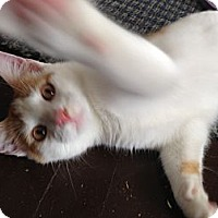 Domestic Shorthair Kitten for adoption in Chicago, Illinois - SNOW