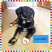 Adopt A Pet :: Gambit - Saskatoon, SK