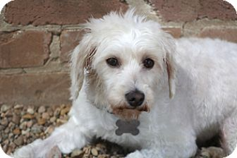 Poodle (Miniature)/Maltese Mix Dog for adoption in Norwalk, Connecticut - Tricia - special girl