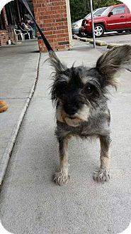 Schnauzer (Miniature) Mix Dog for adoption in Branson, Missouri - Maggie