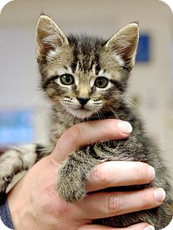 Domestic Shorthair Kitten for adoption in Nashville, Tennessee - Star Lord