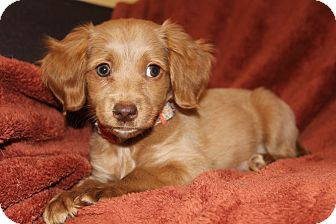 Cavalier King Charles Spaniel/Dachshund Mix Puppy for adoption in Southington, Connecticut - Almond