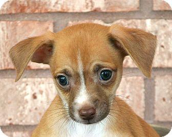 Chihuahua Mix Puppy for adoption in Bridgeton, Missouri - Matty-Adoption pending