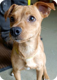 Whippet/Chihuahua Mix Dog for adoption in Hayden, Idaho - Wyatt