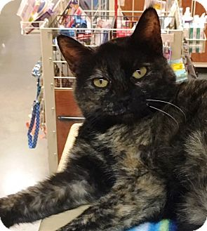 Domestic Shorthair Cat for adoption in Statesville, North Carolina - Angie