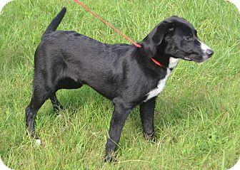 Labrador Retriever/Border Collie Mix Puppy for adoption in Lebanon, Tennessee - Lucas
