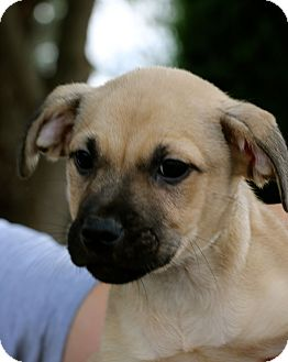 Retriever (Unknown Type)/Anatolian Shepherd Mix Puppy for adoption in Mount Holly, New Jersey - Chuck