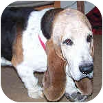 Basset Hound Dog for adoption in Phoenix, Arizona - Wilkinson