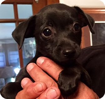 Chihuahua Mix Puppy for adoption in ST LOUIS, Missouri - DORITOS