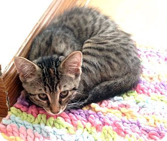 Domestic Shorthair Kitten for adoption in Rochester, New York - Hope - 3 Legged Love Kitten