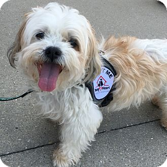Shih Tzu Mix Dog for adoption in Palatine, Illinois - Ducky