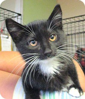 Domestic Shorthair Kitten for adoption in Reeds Spring, Missouri - Shandy