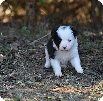 English Setter Mix Puppy for adoption in South Dennis, Massachusetts - Empress
