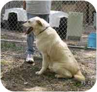Labrador Retriever Mix Dog for adoption in Gloucester, Virginia - Maggie
