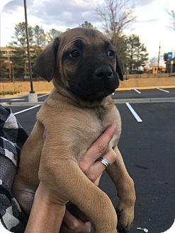 Rhodesian Ridgeback Mix Puppy for adoption in Woodstock, Georgia - Otto