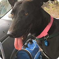 Belgian Malinois/Labrador Retriever Mix Dog for adoption in Jacksonville, Florida - Sasha