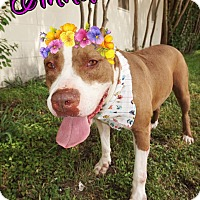 Pit Bull Terrier/American Staffordshire Terrier Mix Dog for adoption in Converse, Texas - Annabella