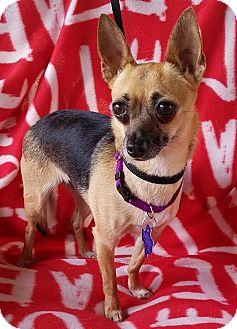 Chihuahua Mix Dog for adoption in Danbury, Connecticut - Safari