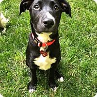 Labrador Retriever Mix Puppy for adoption in Charlotte, North Carolina - The Walking Dead: Michonne