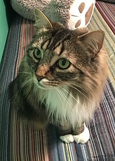 Domestic Longhair Cat for adoption in Lake Arrowhead, California - Socks