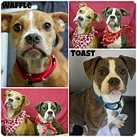 Adopt A Pet :: Waffle & Toast - Forked River, NJ