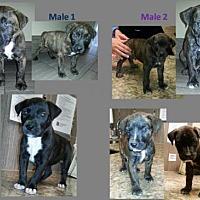 Adopt A Pet :: Puppies! - Houston, TX