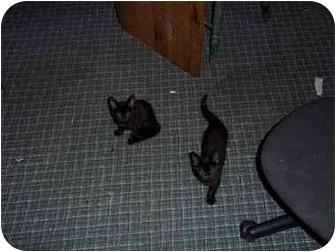 Domestic Shorthair Kitten for adoption in Washington Terrace, Utah - KITTENS