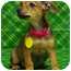Photo 1 - Chihuahua/Dachshund Mix Puppy for adoption in Westminster, Colorado - MAGRITTE