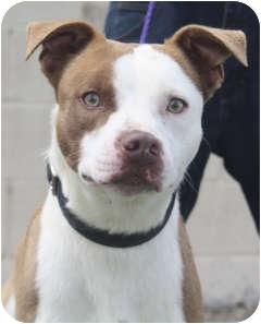 Pointer/Terrier (Unknown Type, Medium) Mix Dog for adoption in Sacramento, California - Jay