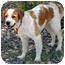 Photo 2 - Brittany/Spaniel (Unknown Type) Mix Dog for adoption in Phoenix, Arizona - Ember