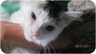 Turkish Angora Kitten for adoption in Oxford, Connecticut - Ricky