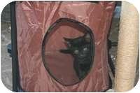 Domestic Shorthair Kitten for adoption in Tampa, Florida - Peanut
