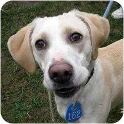 Labrador Retriever/Retriever (Unknown Type) Mix Dog for adoption in Berea, Ohio - Starr-Courtesy Post