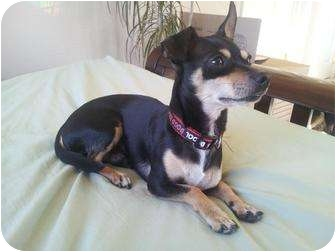 Miniature Pinscher/Chihuahua Mix Dog for adoption in El Dorado Hills, California - Atom