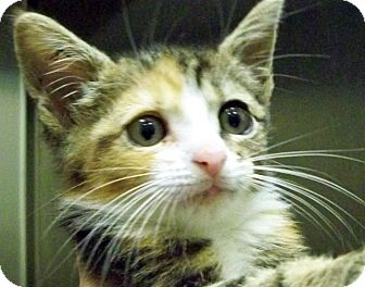 Calico Kitten for adoption in Secaucus, New Jersey - Minnie