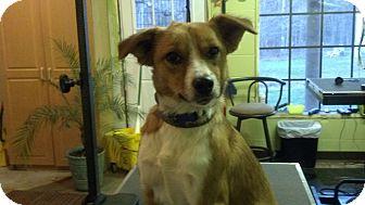 Sheltie, Shetland Sheepdog Mix Dog for adoption in Foster, Rhode Island - Bella (Reduced to $300)