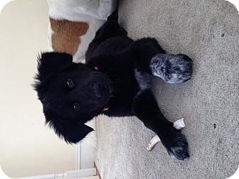 Labrador Retriever/German Shepherd Dog Mix Puppy for adoption in El Segundo, California - Brando